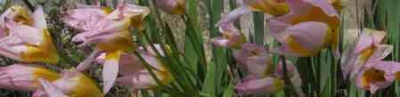 Tulipes printemps